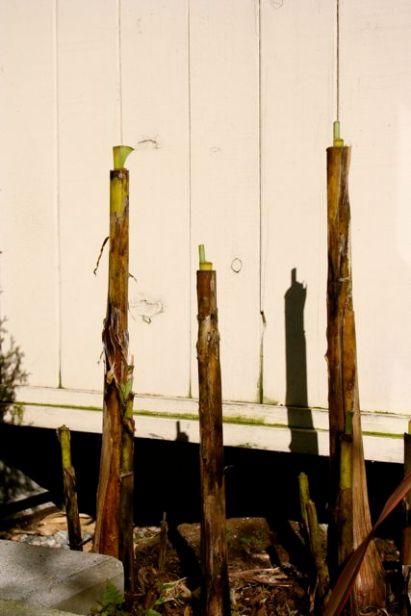 end-of-winter-for-the-banana-grove.jpg