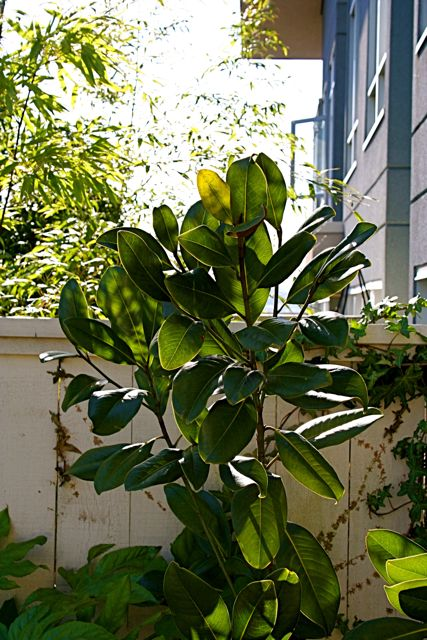 magnolia-victoria-feb-08.jpg
