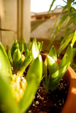 potted-hyacinth2.jpg